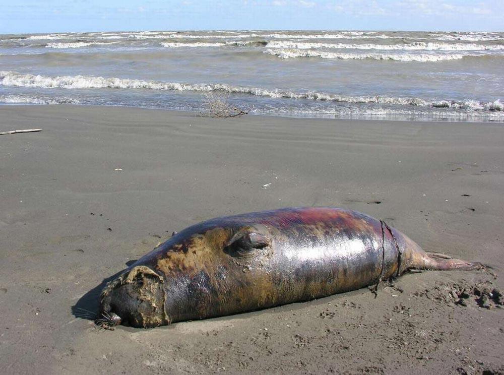 Погибшие тюлени